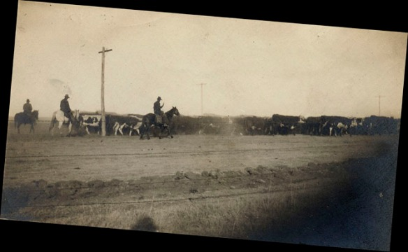 1910 men driving cattle