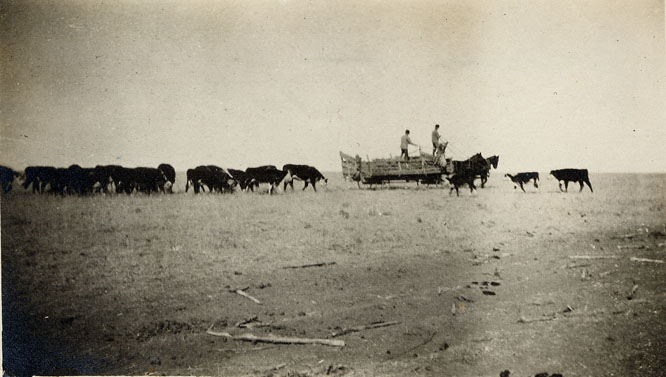 1910 feeding cattle from wagon