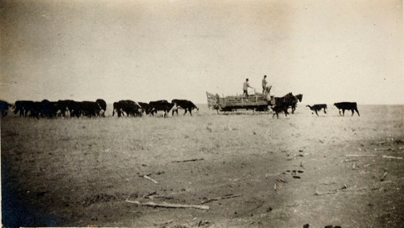 1910 feeding cattle from wagon