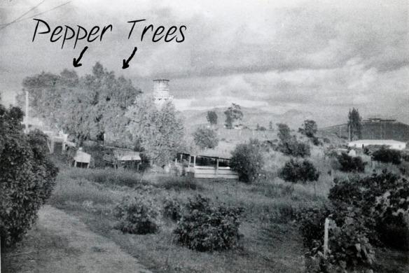 backyard w pepper trees