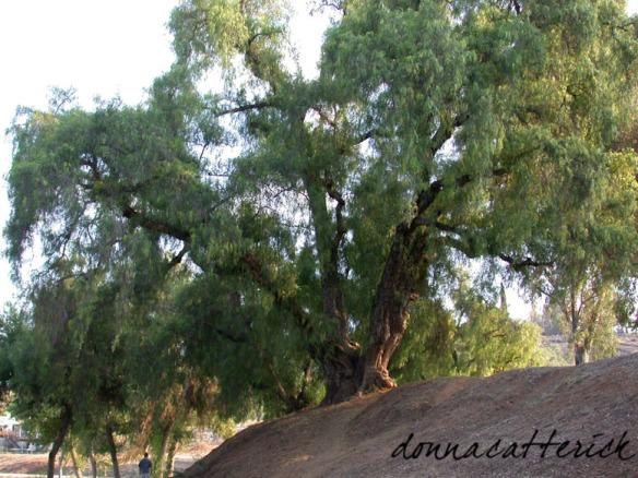 Pepper trees, Lindo Park, Lakeside, California