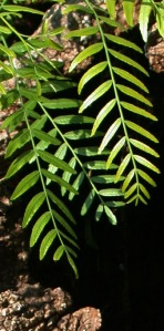 pepper tree leaves